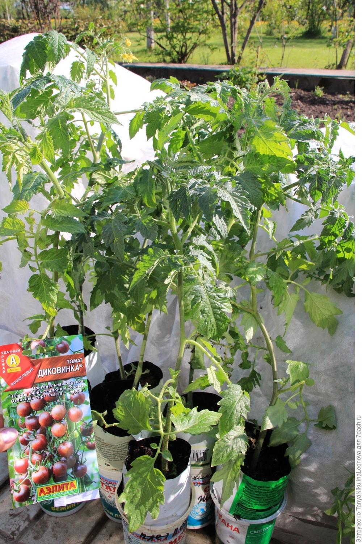 Высадка рассады помидор 30