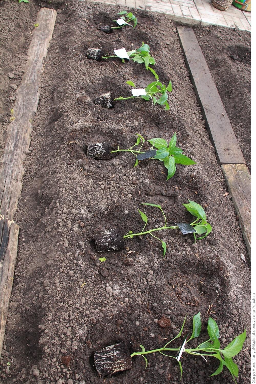 Лаватера - выращивание из семян в открытый грунт или на 77