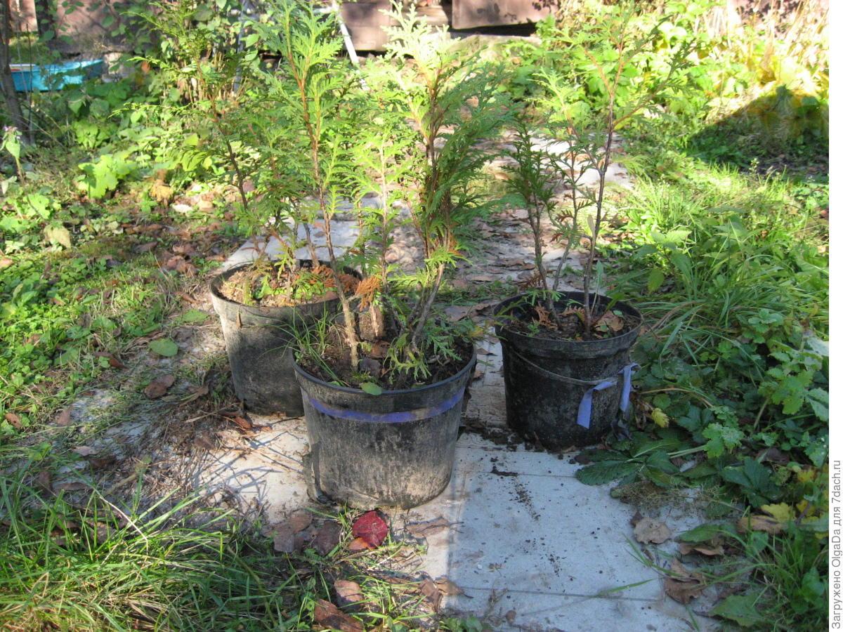 Размножение туи черенками, семенами, ветками в домашних 22