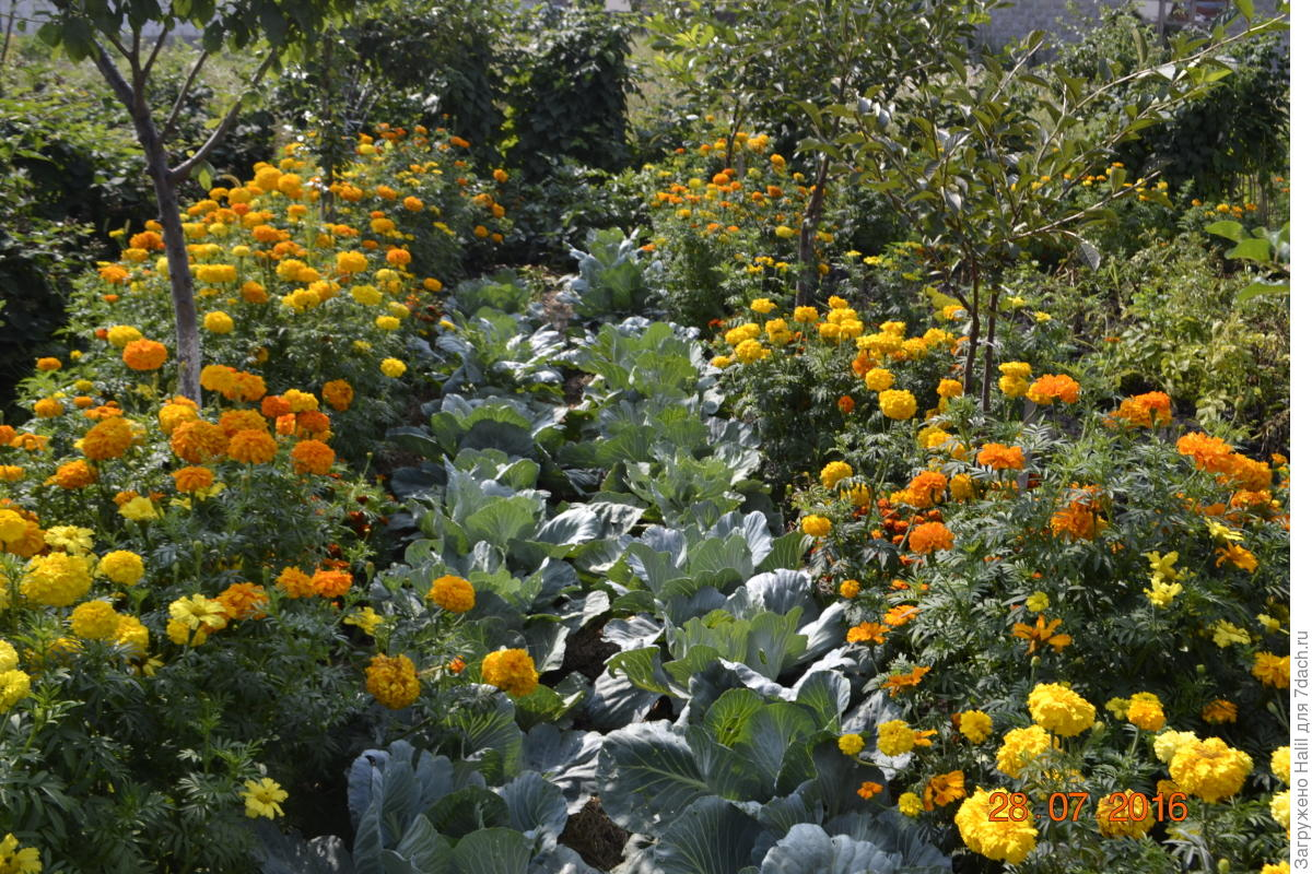 Какие цветы сажать возле капусты 26