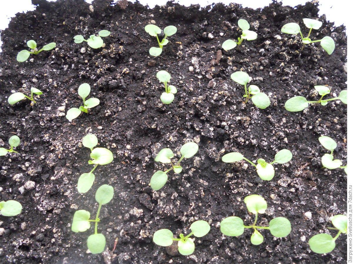 Посев цинерарии на рассаду 74