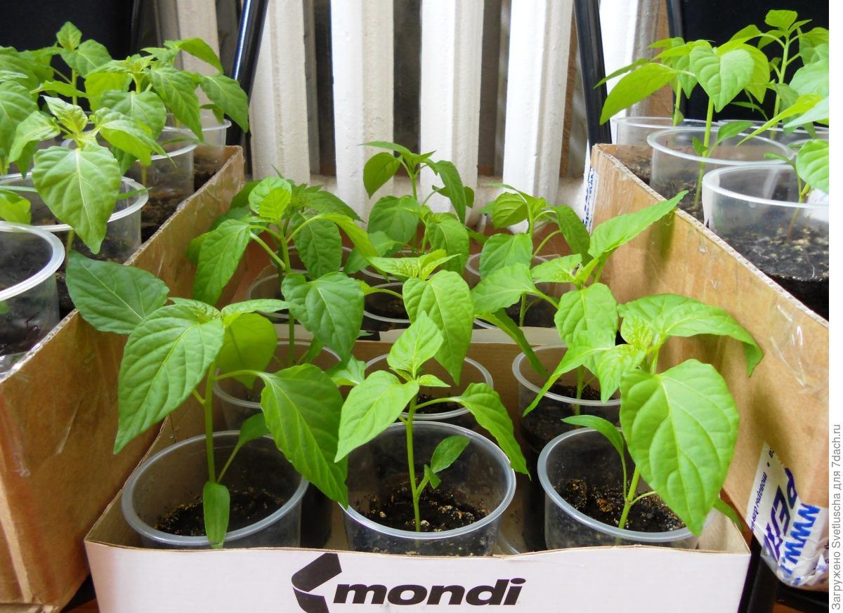 Посев семян перца и баклажан на рассаду: как и когда сажать