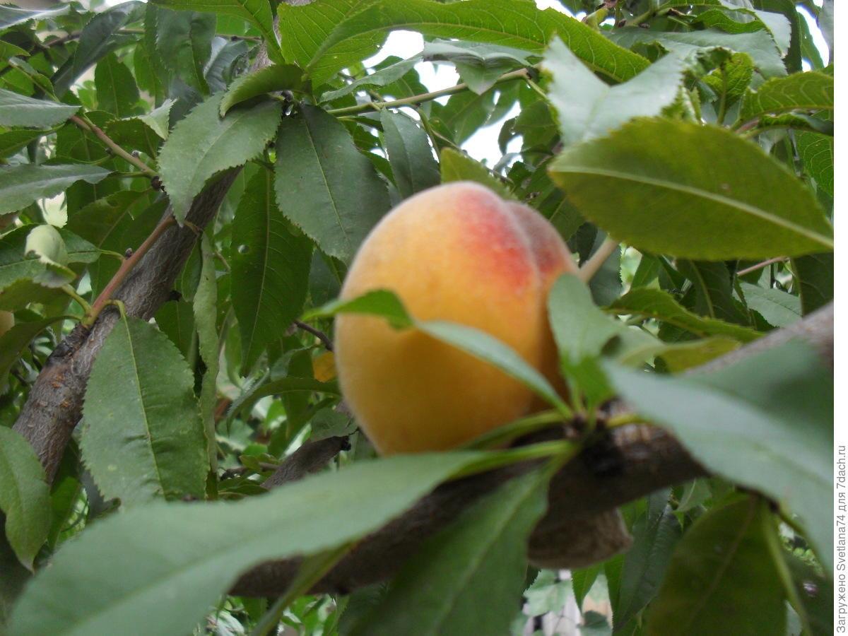 Выращивание персика в Подмосковье Сайт о саде, даче и 4
