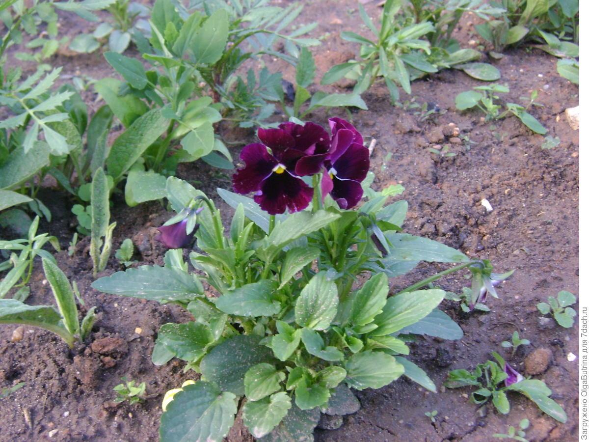 Как вырастить рассаду виолы - когда сажать, видео 95