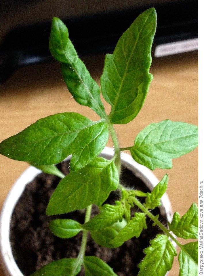 Листья у рассады томатов фиолетовые 86