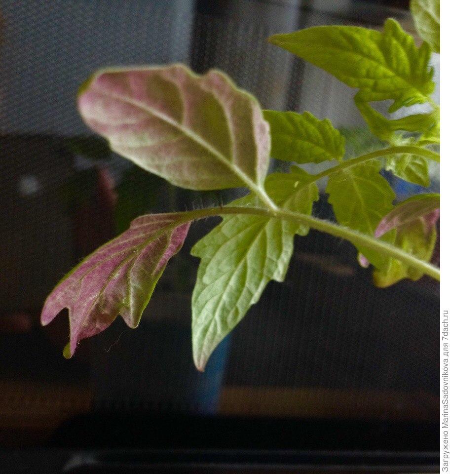 Листья у рассады томатов фиолетовые 59