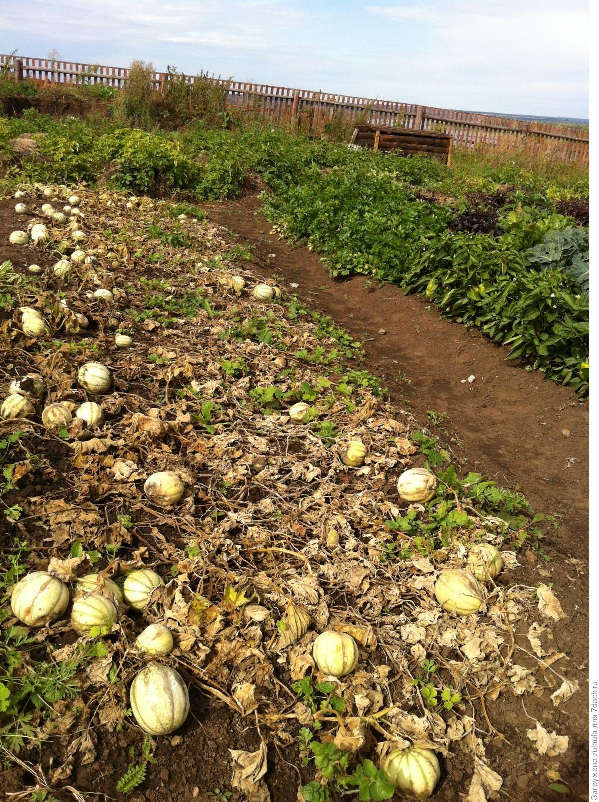 Выращивание картофеля в соломе - 3 лучших метода! 93