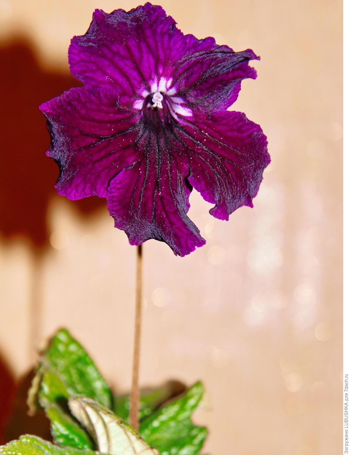 Комнатный цветок стрептокарпус: фото сортов с описанием, размножение и 12
