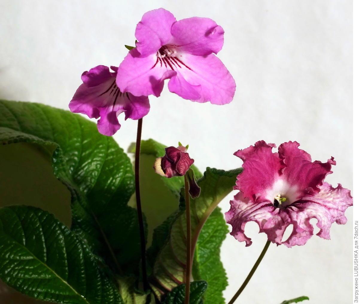 Комнатный цветок стрептокарпус: фото сортов с описанием, размножение и 89