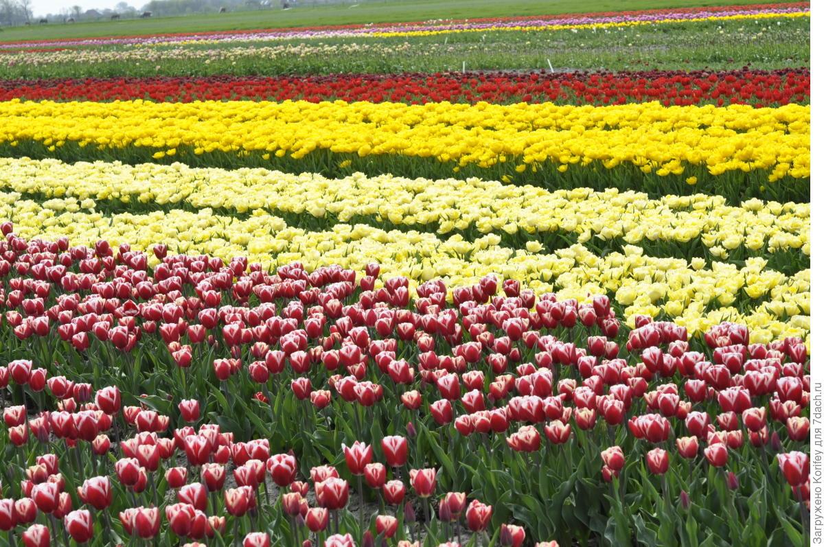 Кто сажал голландские тюльпаны 583