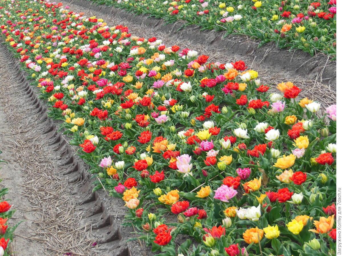 Клумба тюльпанов своими руками
