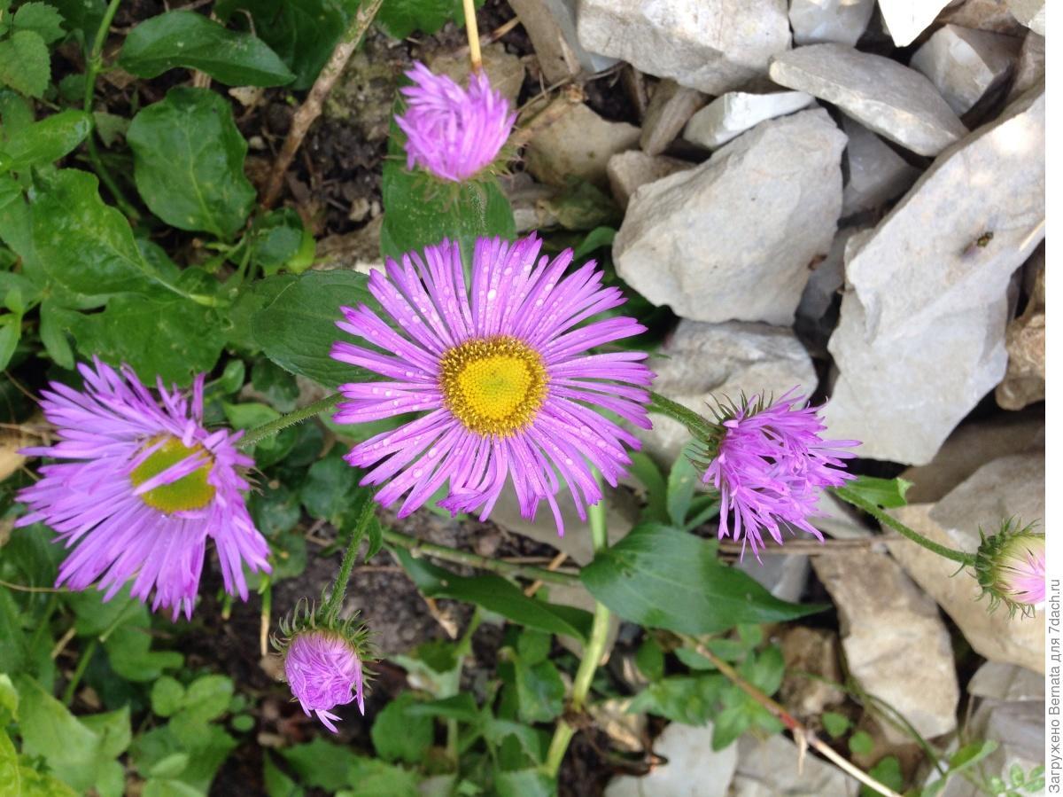 Многолетние цветы урала фото