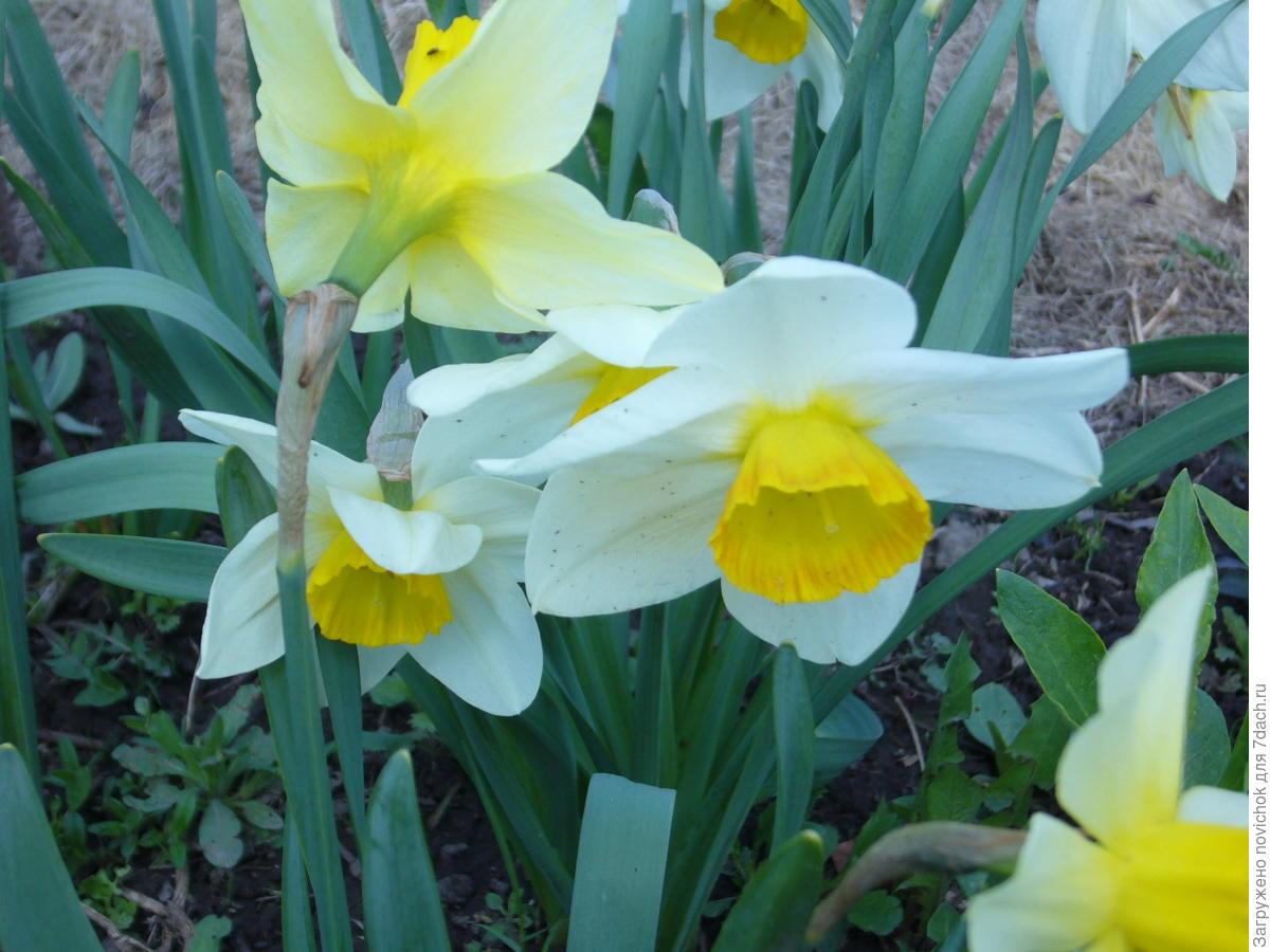 Выращивание нарциссов в открытом грунте: посадка и уход 73