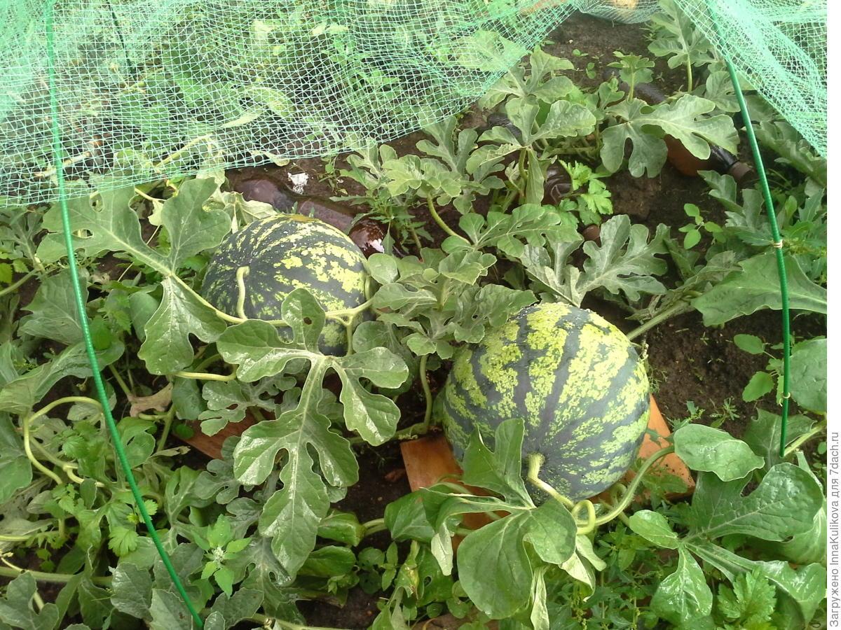 Арбуз выращивание в подмосковье 1