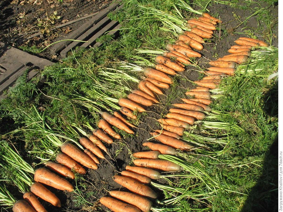 Выращивание моркови как бизнес: организация и план - бизнес идеи 97