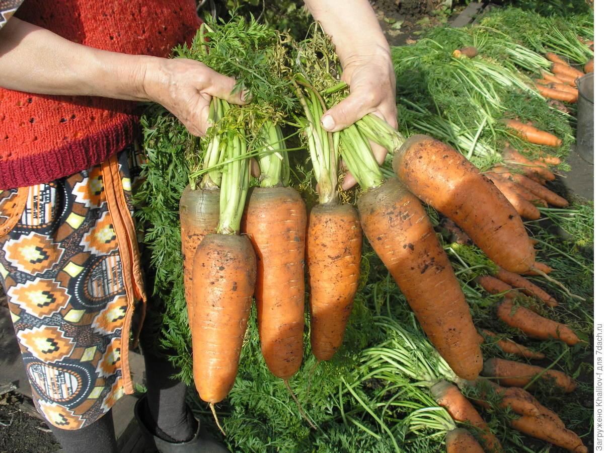 Выращивание моркови на продажу 93