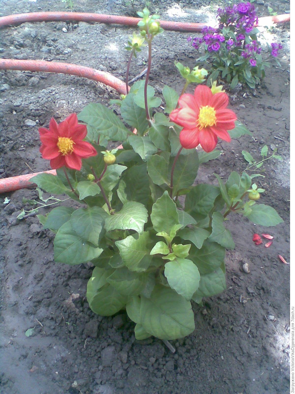 Веселые ребята цветы как сажать 91