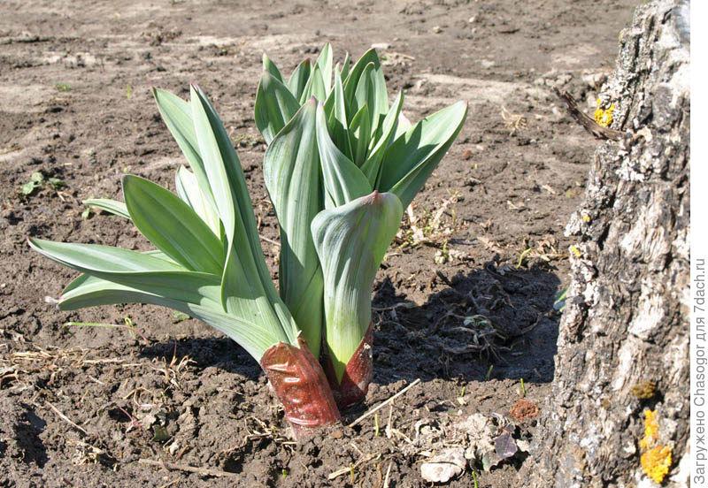 Выращивание лука анзур 15