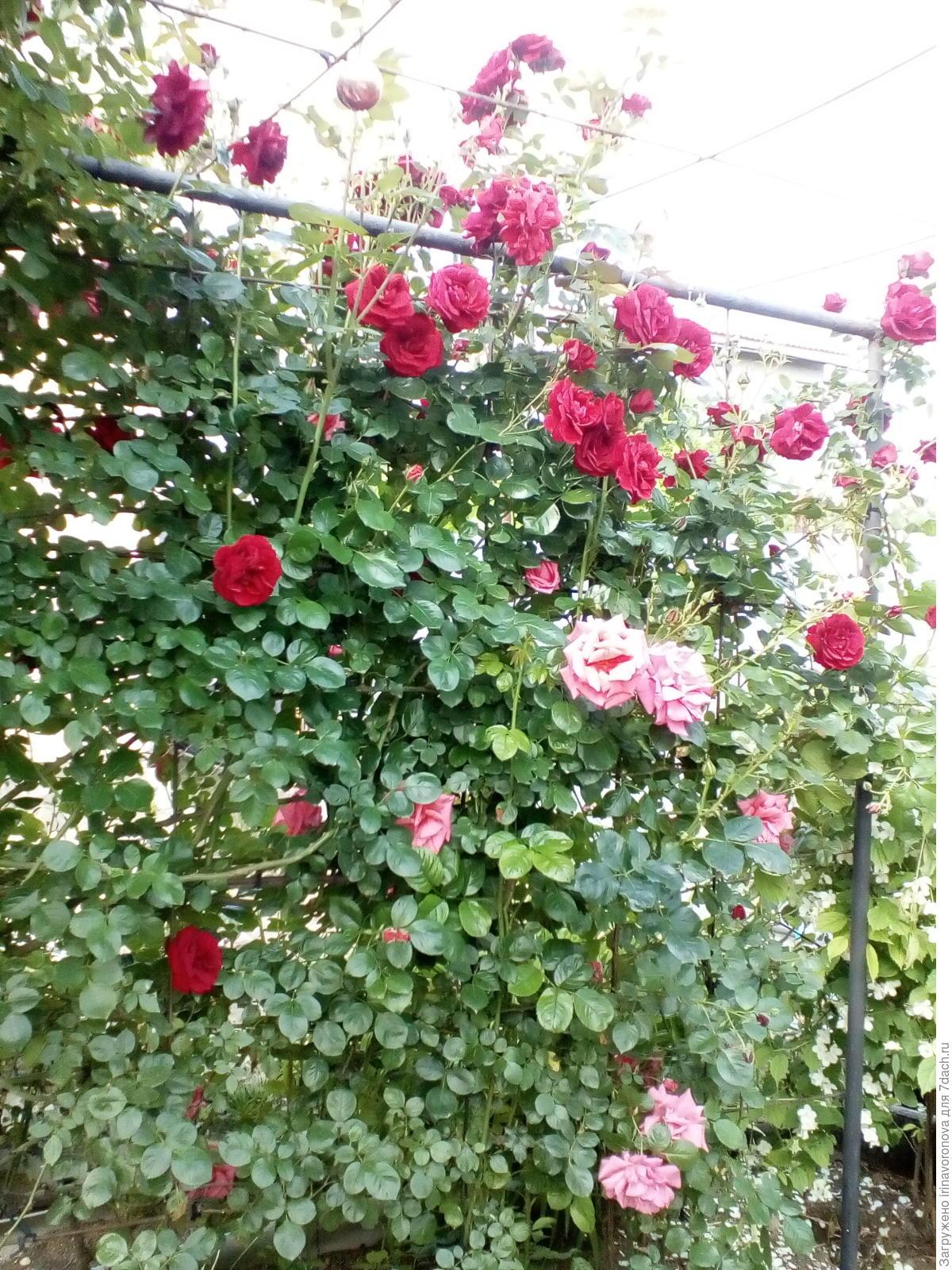 Как и когда лучше сажать плетистые розы - Ботаничка. ru 64