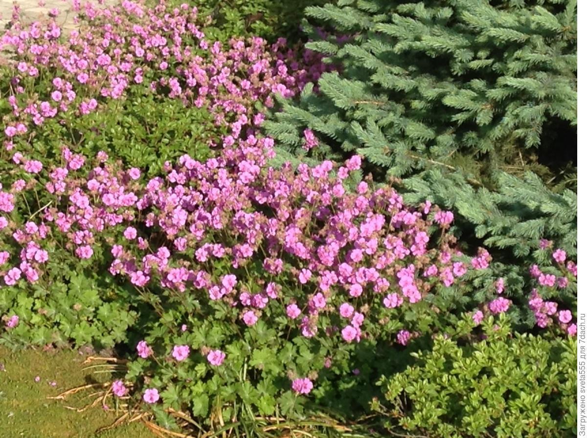 Почвопокровные растения названия и фото цветков