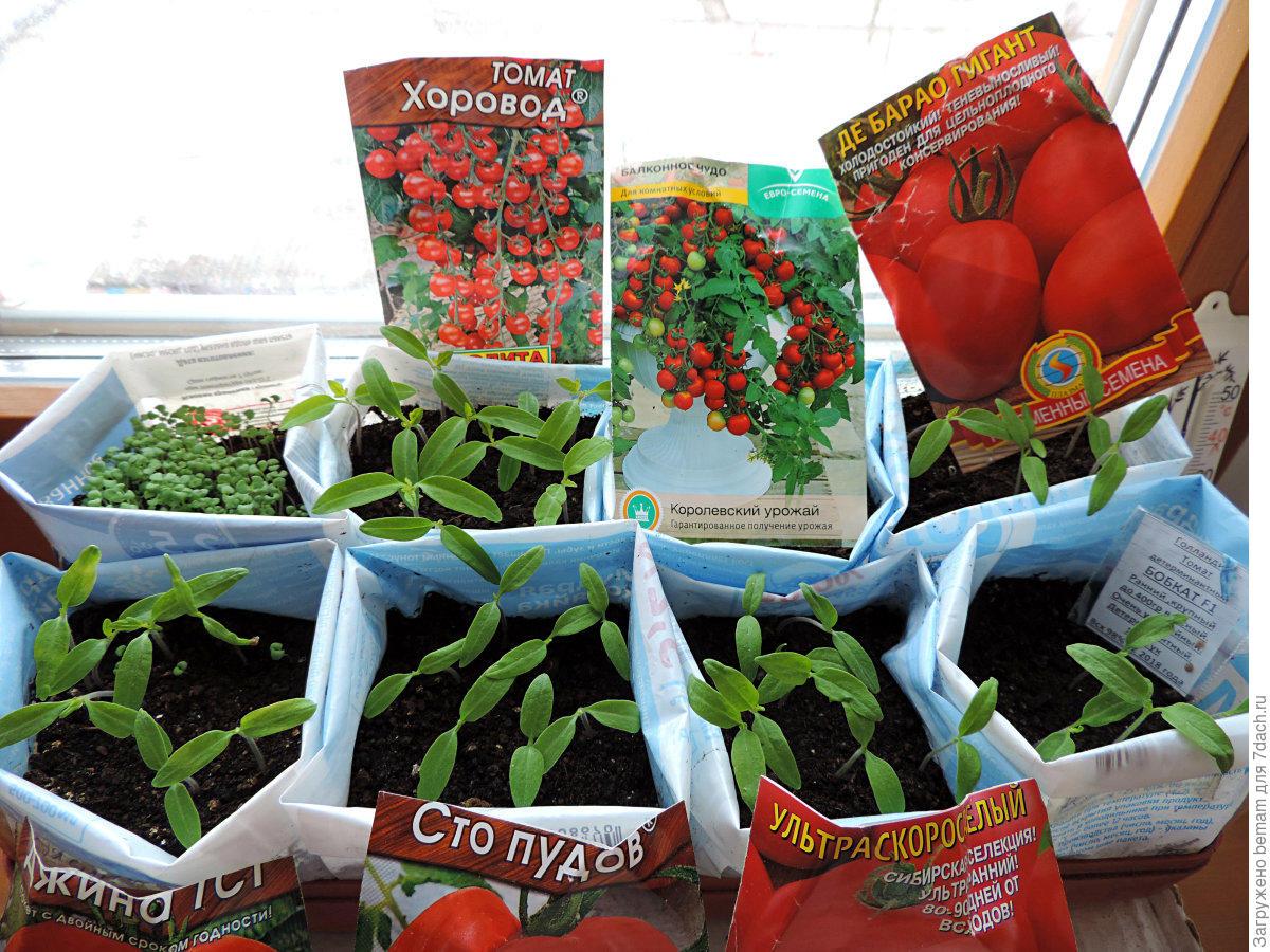 Как сажать томат хоровод 60