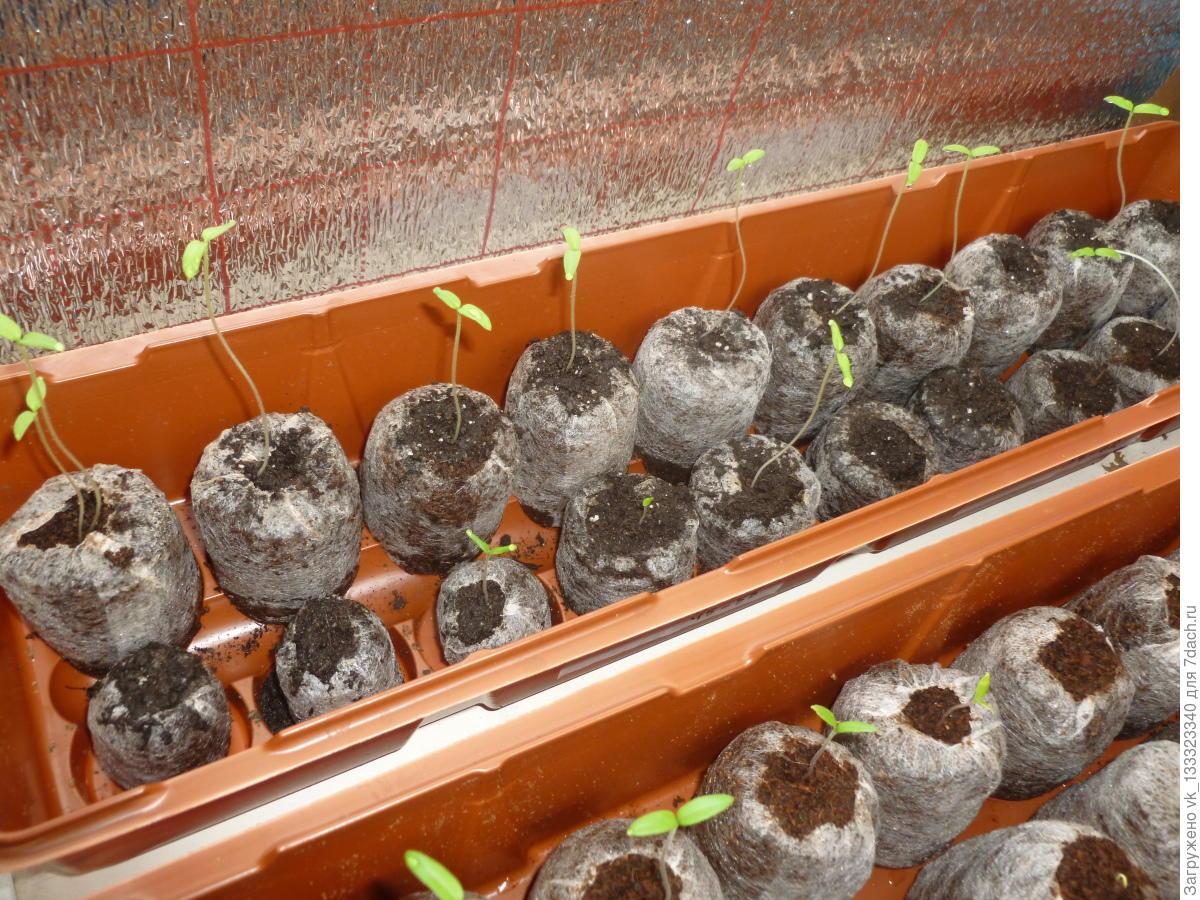 Чем полить рассаду помидор и 84