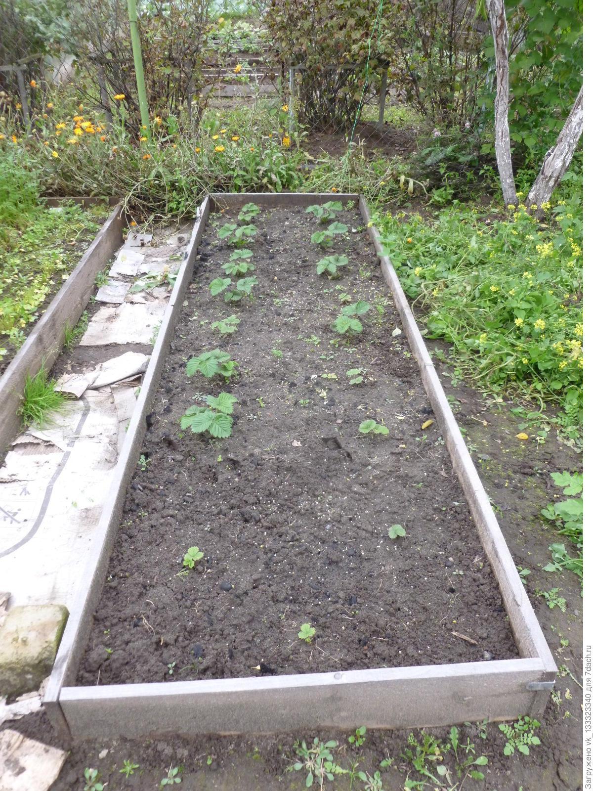 Как посадить помидоры под пленку 6