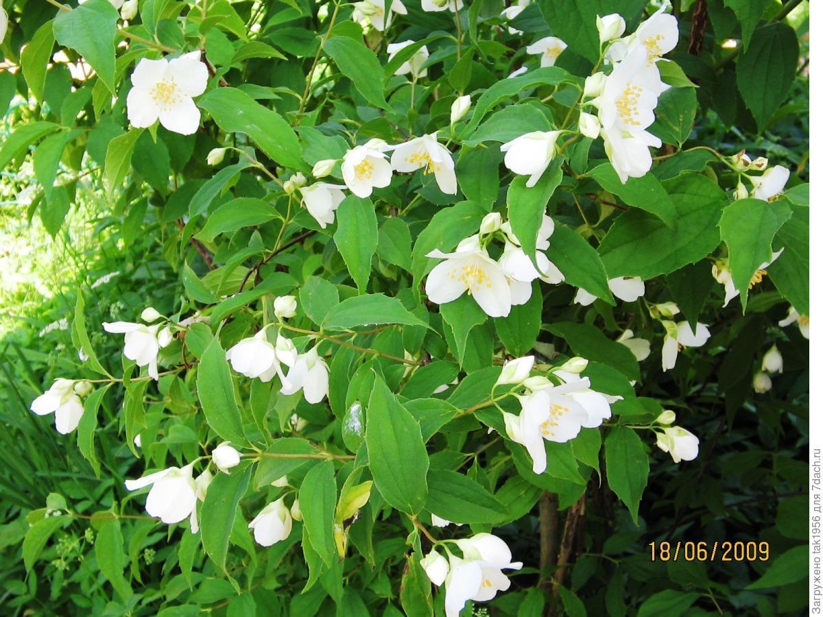 Садовый жасмин : особенности посадки и ухода Строительный портал