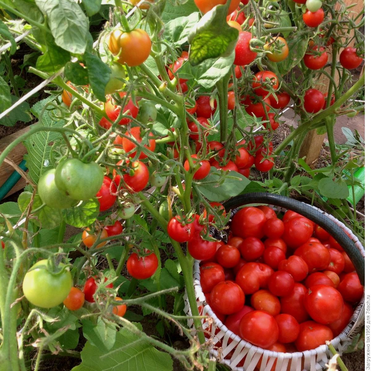 Балконное чудо помидоры выращивание в теплице 59