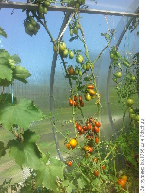 Можно ли сажать рядом с виноградом помидоры 94