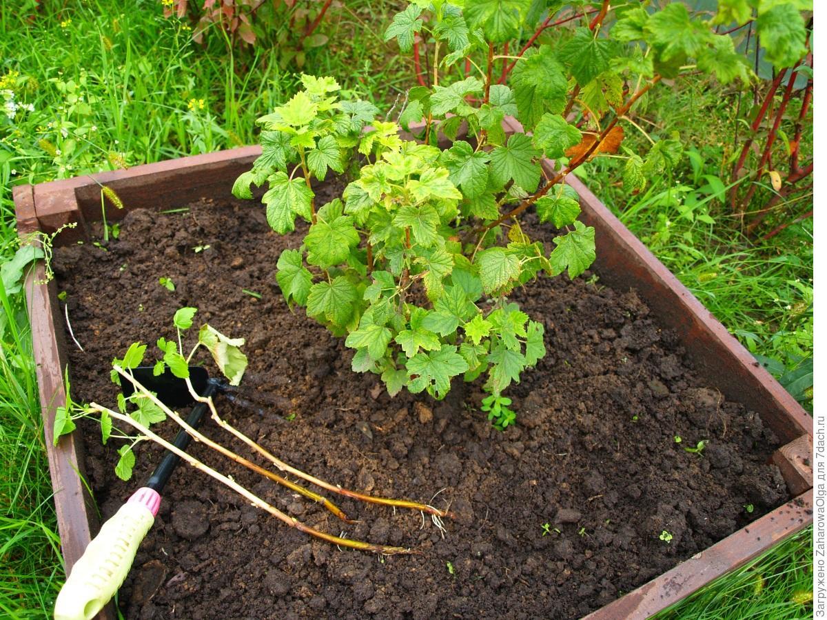 Ягодные кустарники в саду на Кубани: малина 8