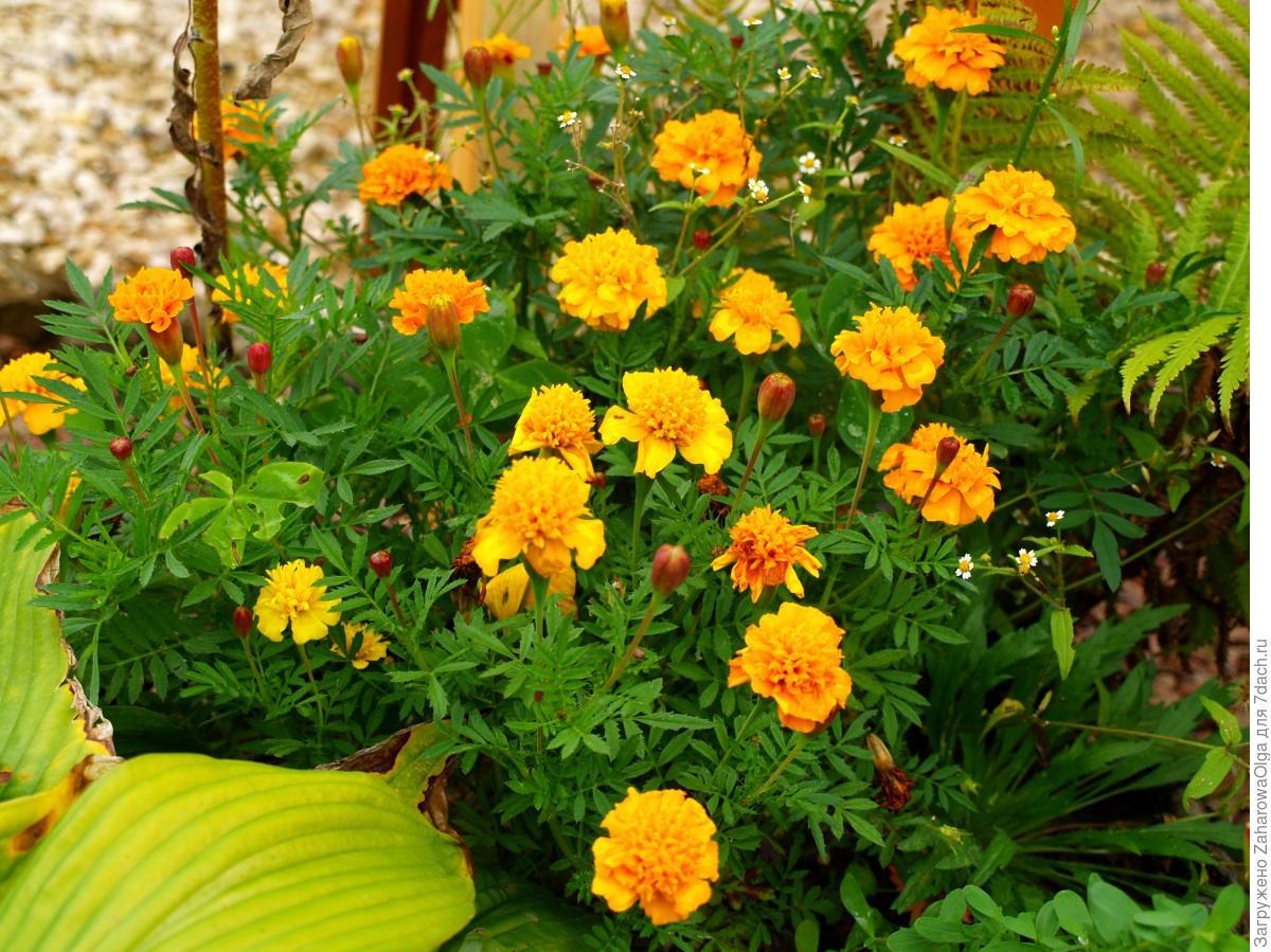 Цветы бархатцы фото многолетние