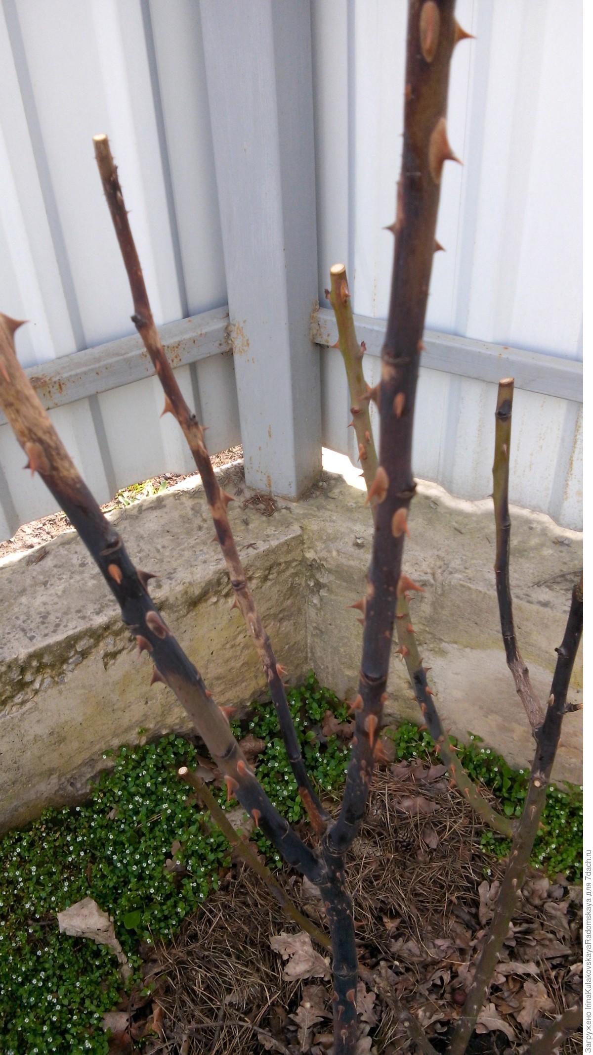 Выращивание саженцев яблони из черенков 14