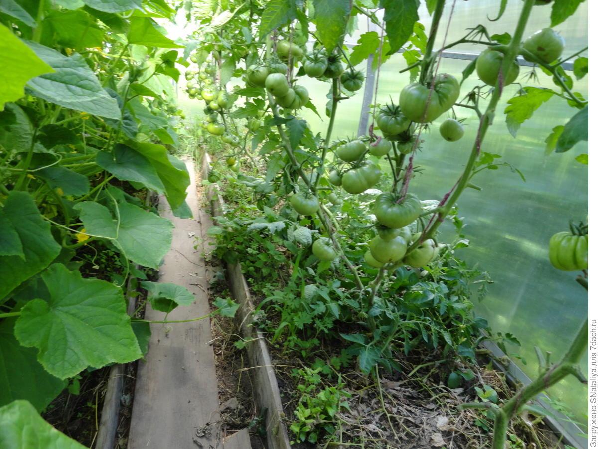 Помидоры и огурцы в одной теплице: как сажать рассаду и 23