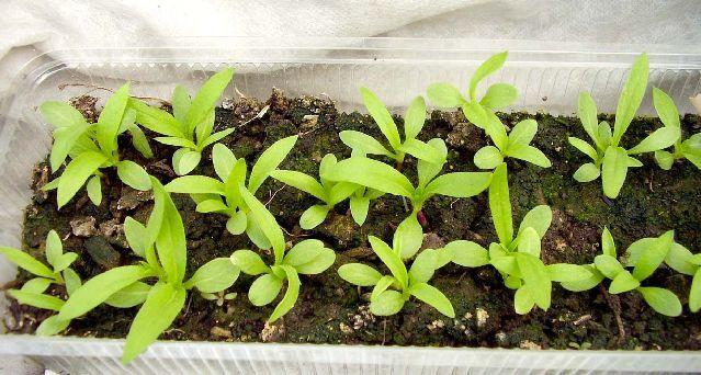 Как сеять флоксы на рассаду в домашних условиях 100