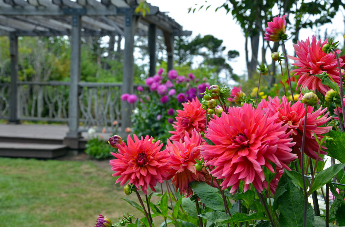 Георгин садовая многолетняя посадка и уход