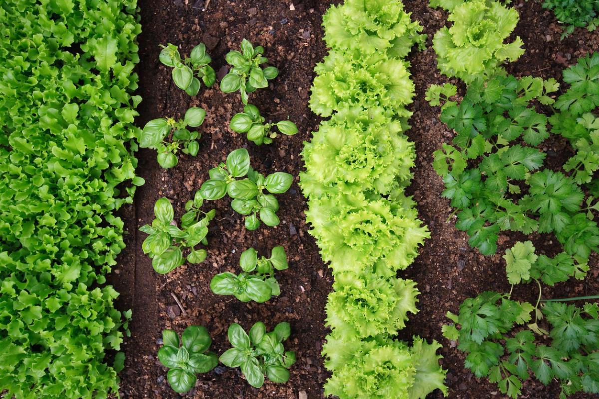 Посадка салата в открытый грунт