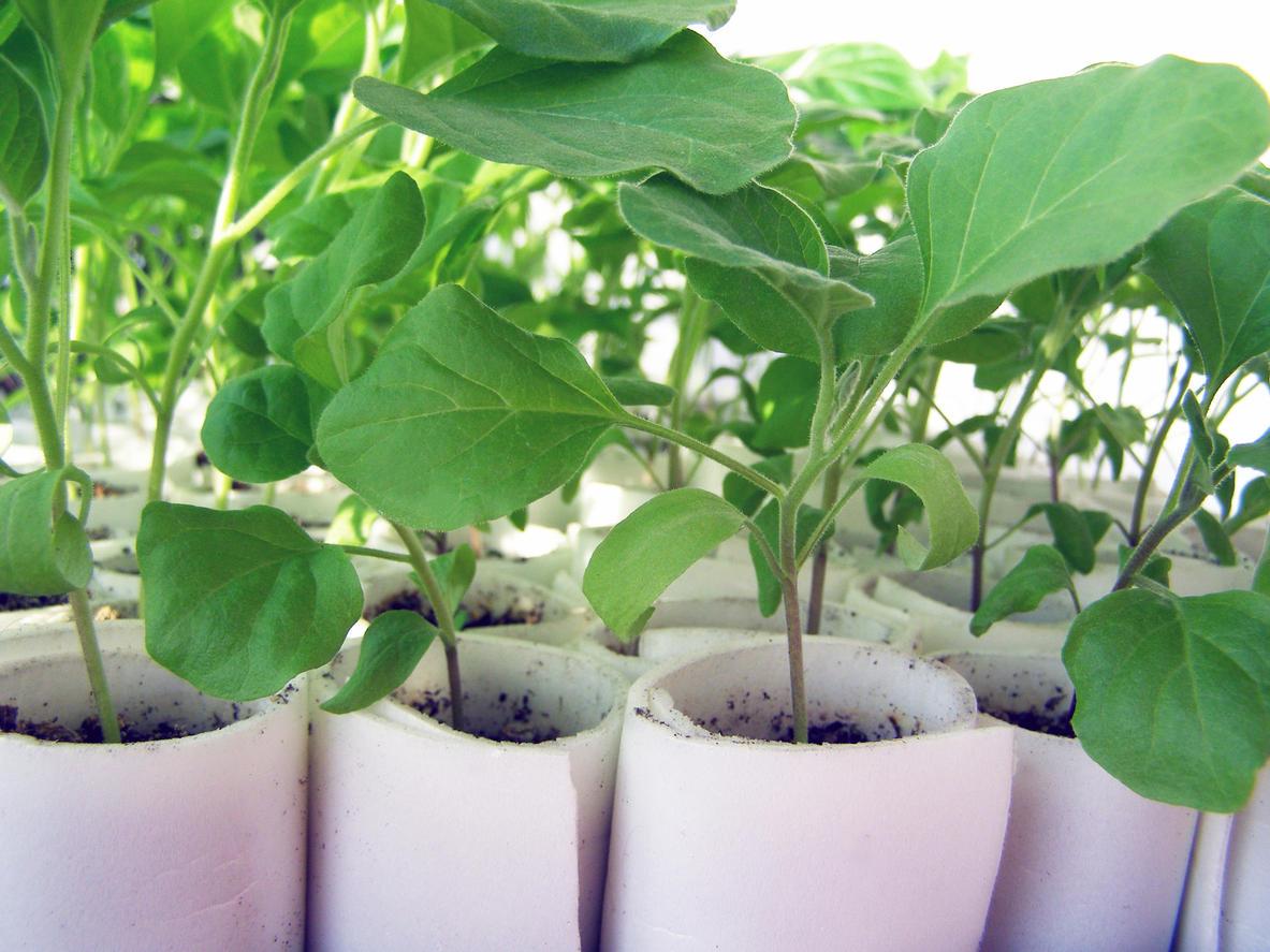 Когда выращивают рассаду баклажан 185