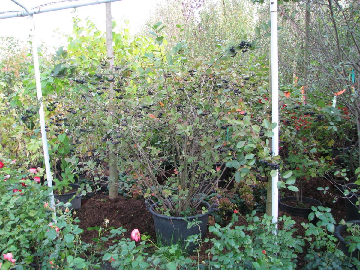 Как сажать черноплодную рябину осенью 926
