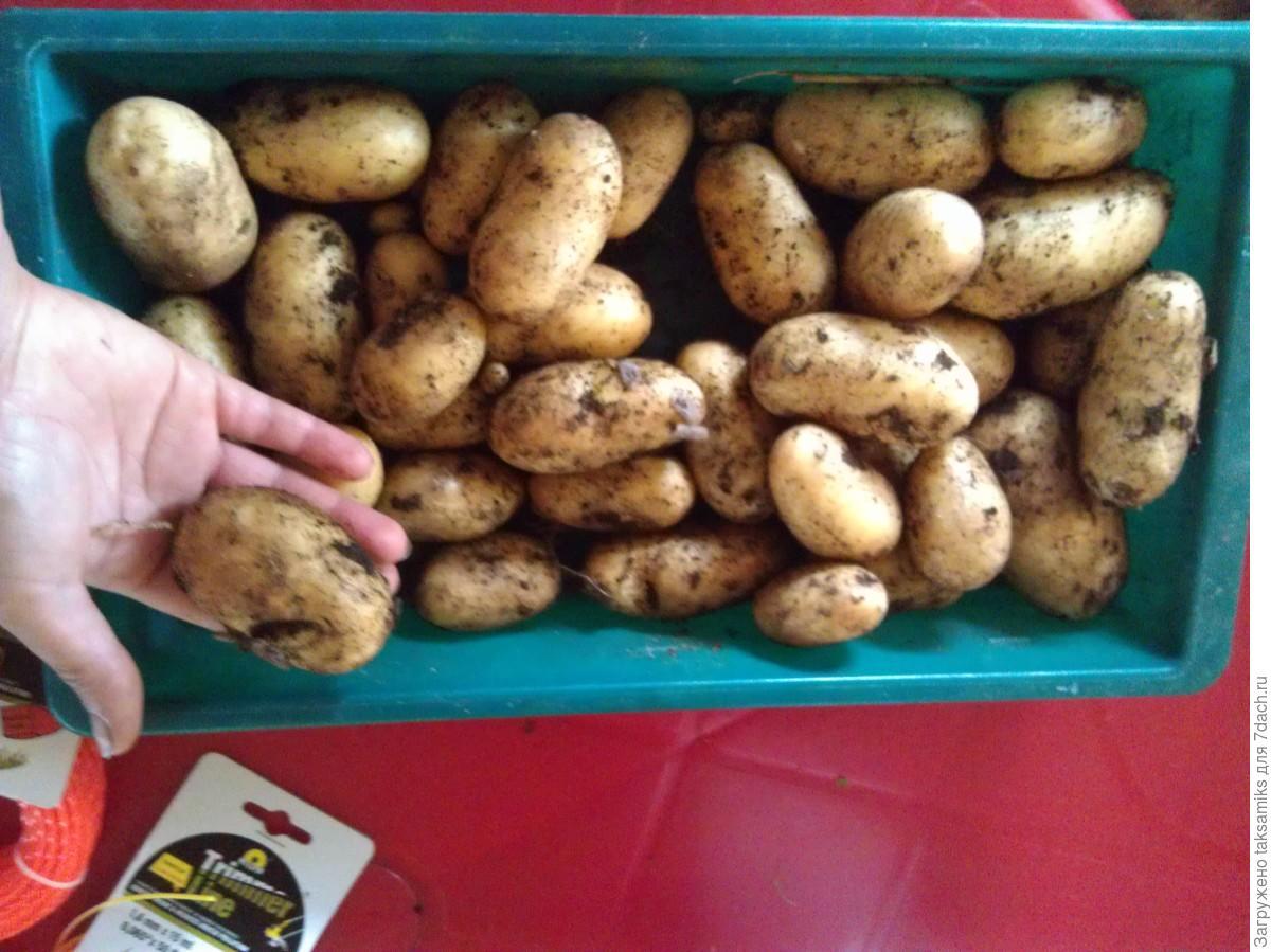 Органическое земледелие как сажать картофель 62