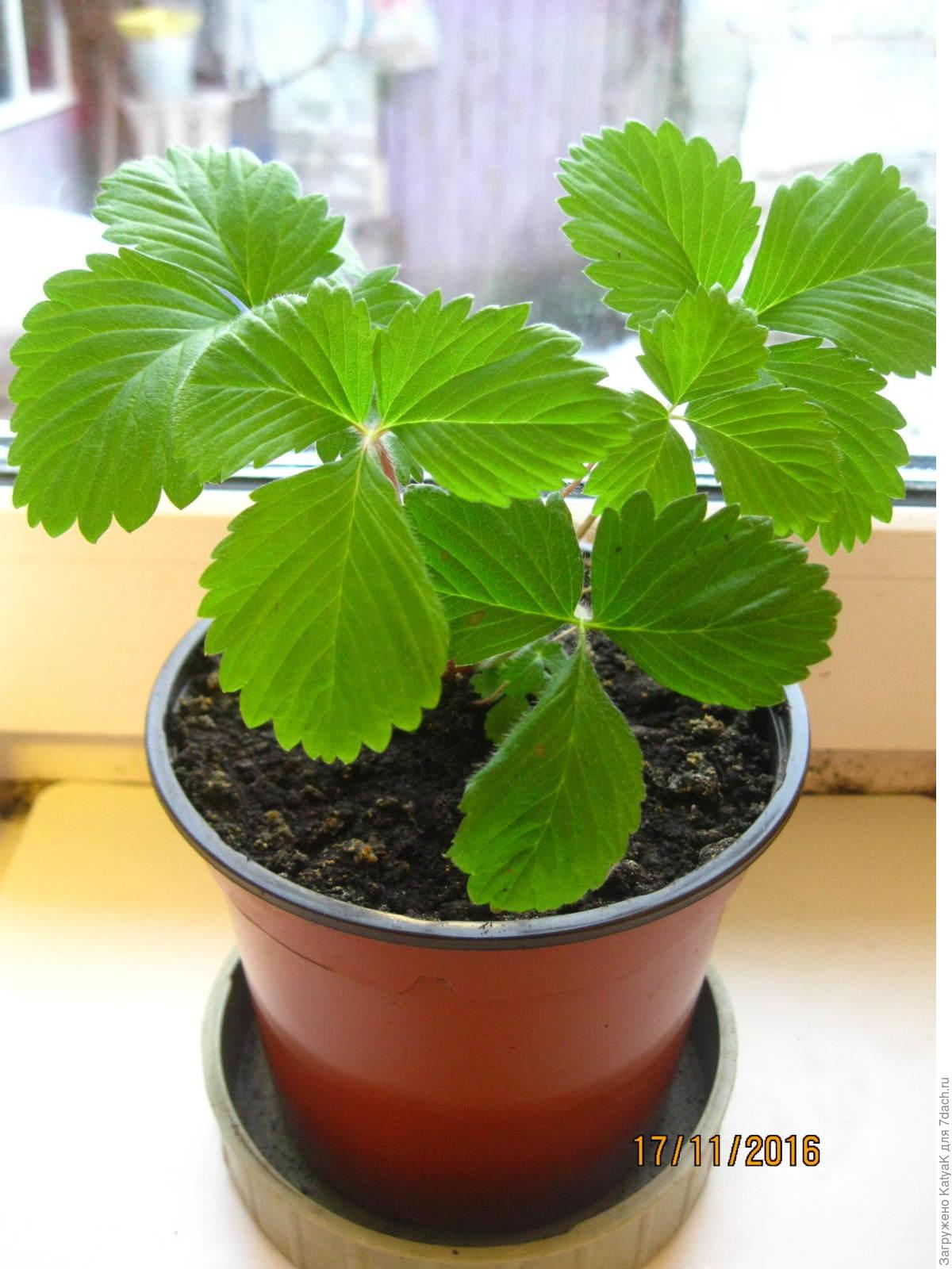 Клубника из семян в домашних условиях фото