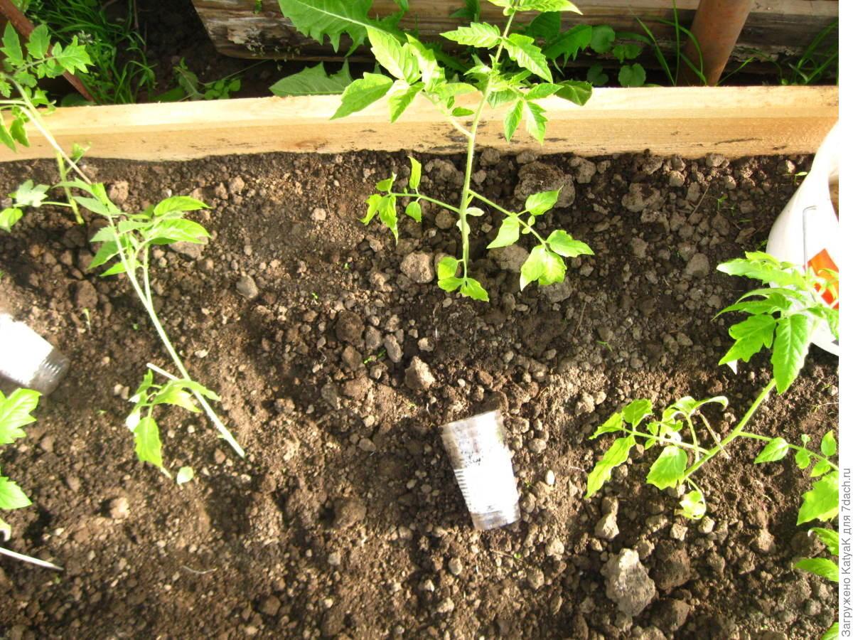 Высадка рассады помидор 28
