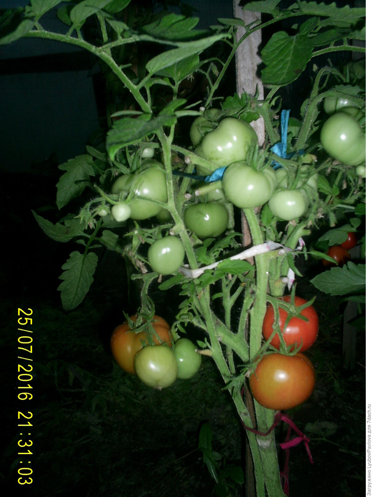 Комнатный сюрприз томат выращивание 29