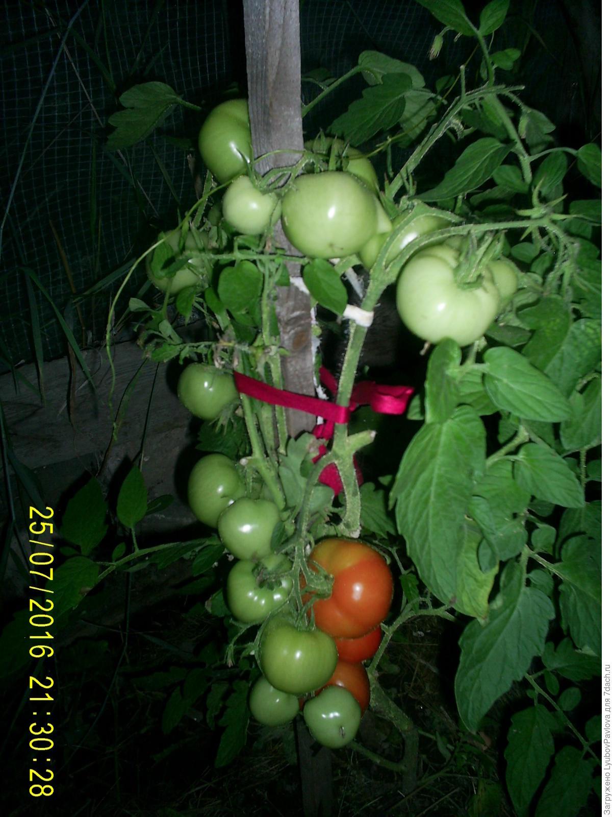 Комнатный сюрприз томат выращивание 20