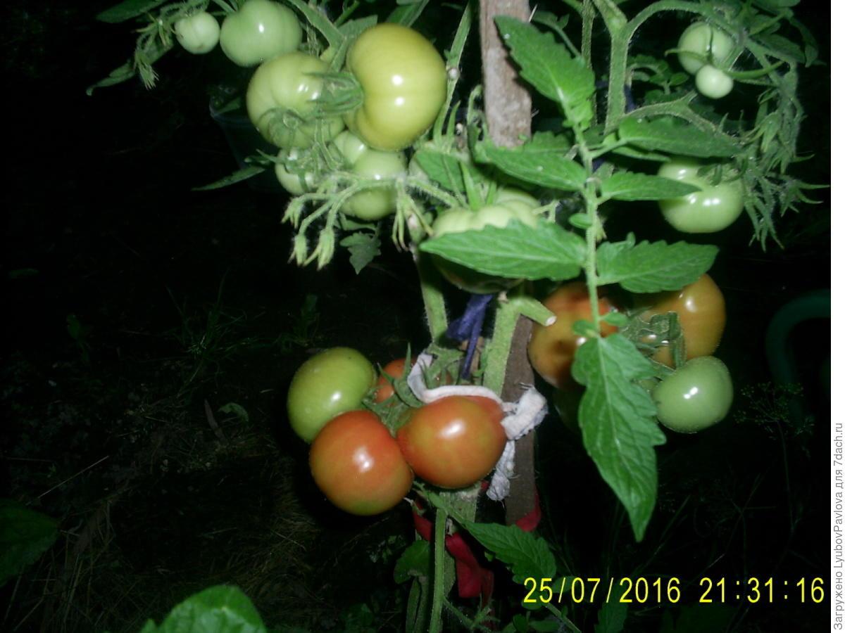 Комнатный сюрприз томат выращивание 92
