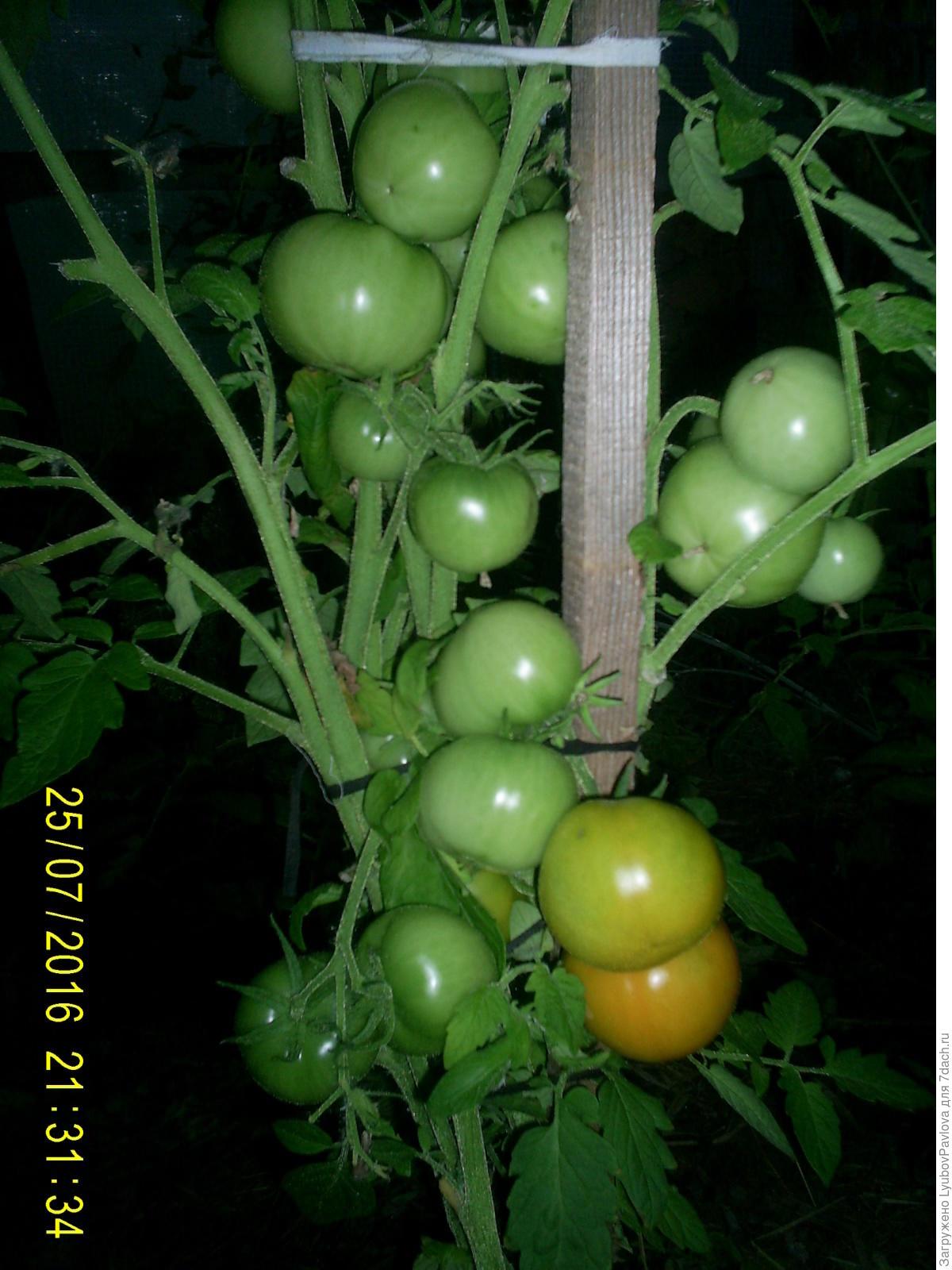 Комнатный сюрприз томат выращивание 82