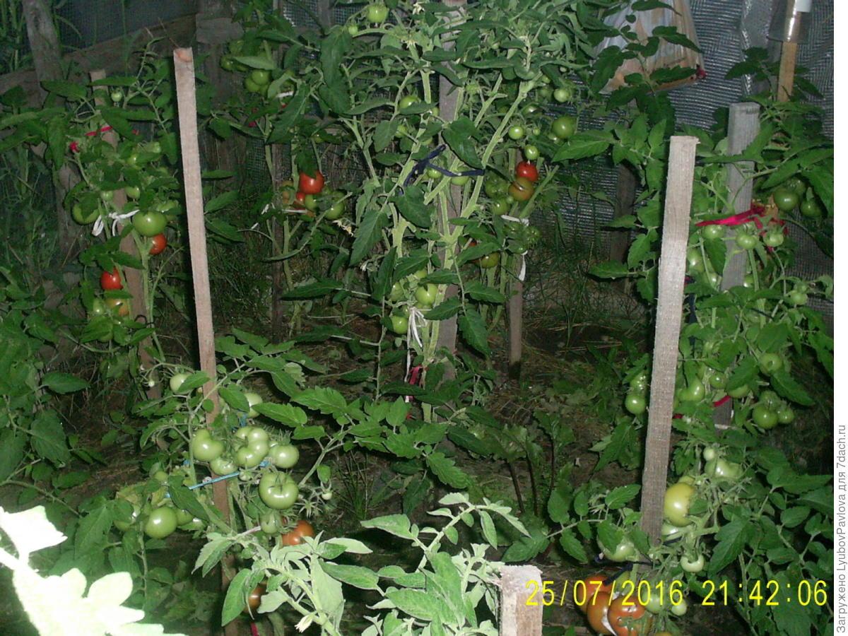 Комнатный сюрприз томат выращивание 100