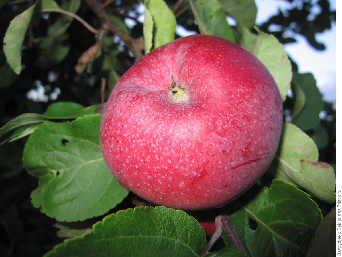 Яблоня графский подарок фото