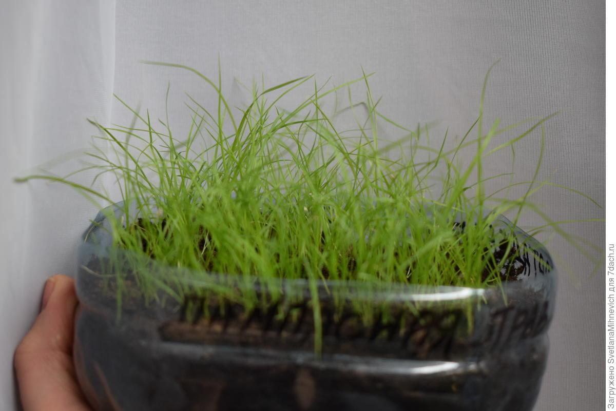 Пампасная трава рассада 36