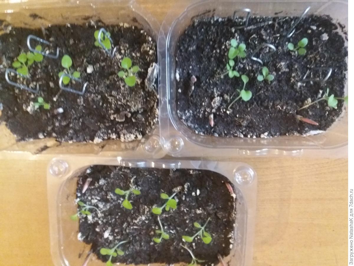 Цветок петуния: выращивание, уход